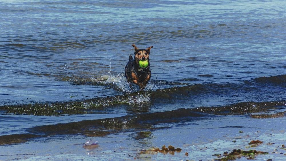 short-coated tan dog on seashore