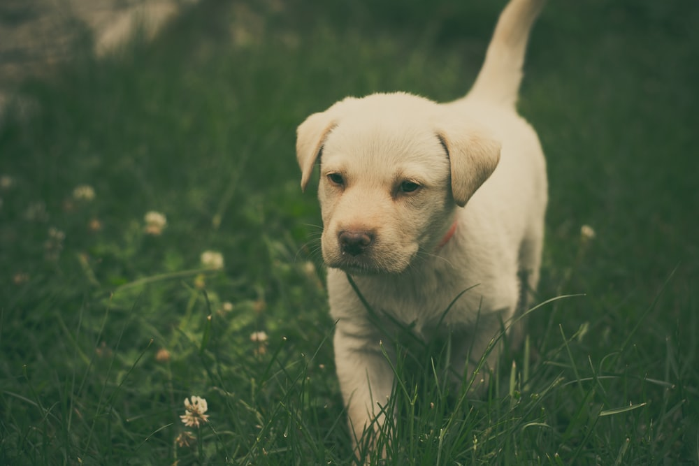 Labrador retriever puppy walking on green grass