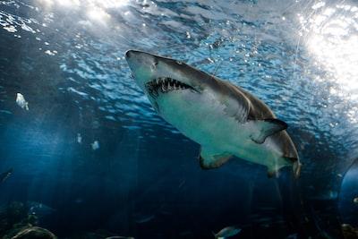 great white shark shark zoom background