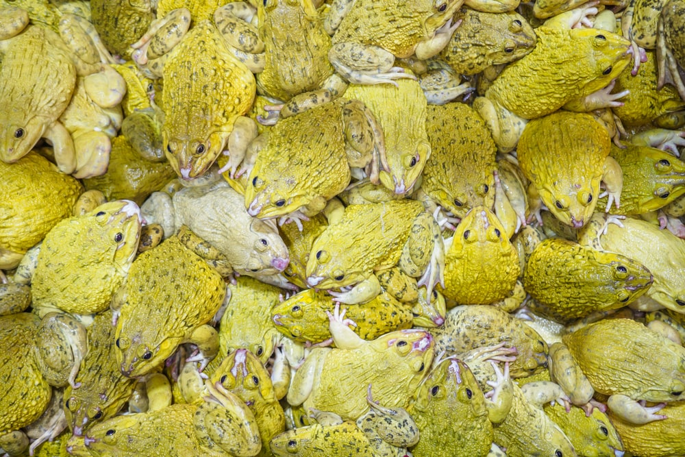 close-up photography of group of frogs