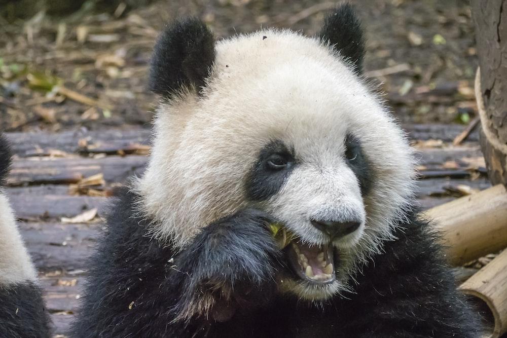 close-up photography of eating panda during daytime