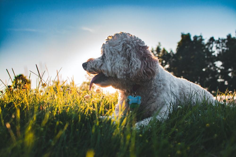long-medium white dog