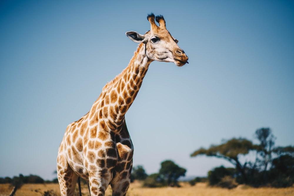 giraffe near trees at daytime