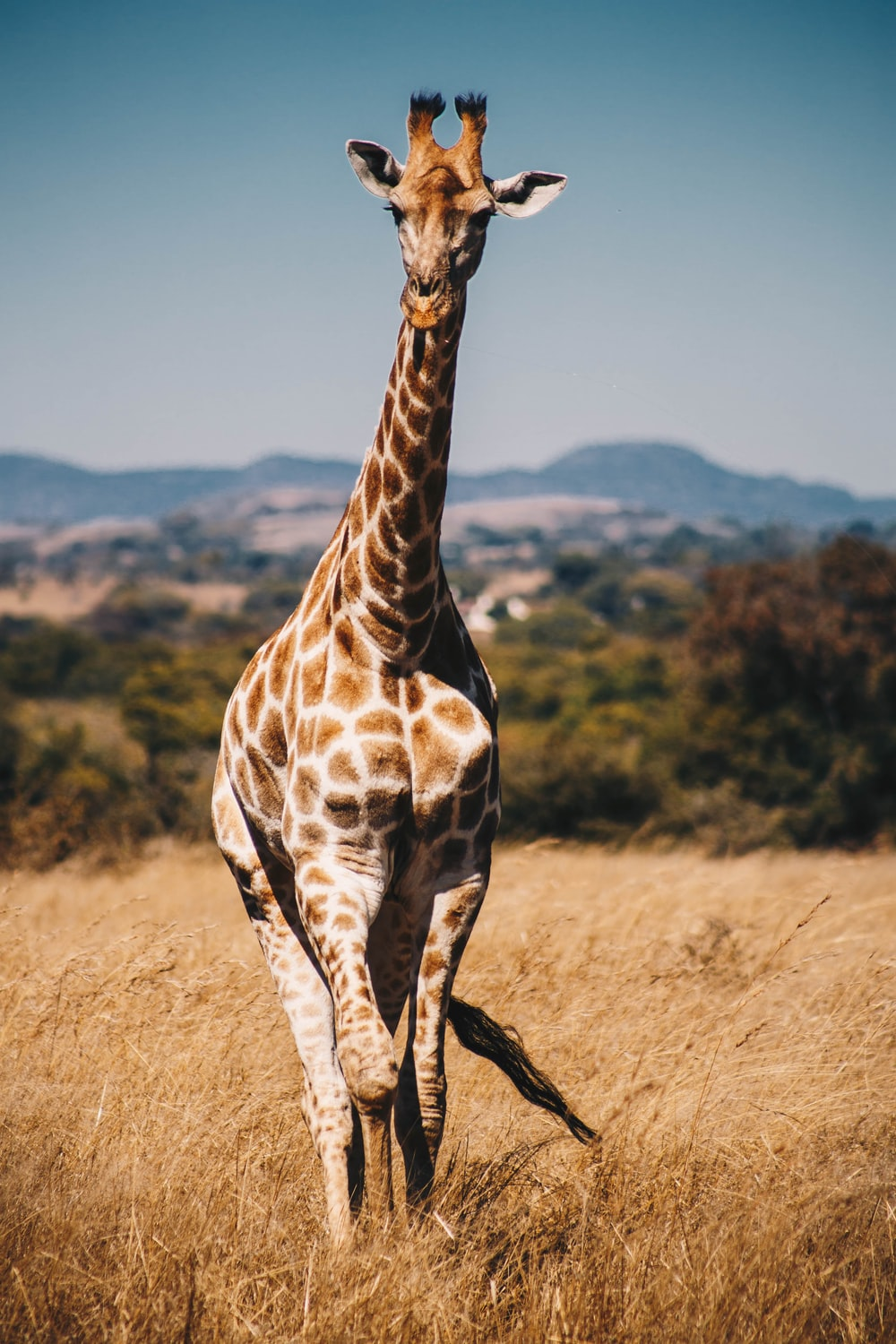 giraffe surrounded by brown grass