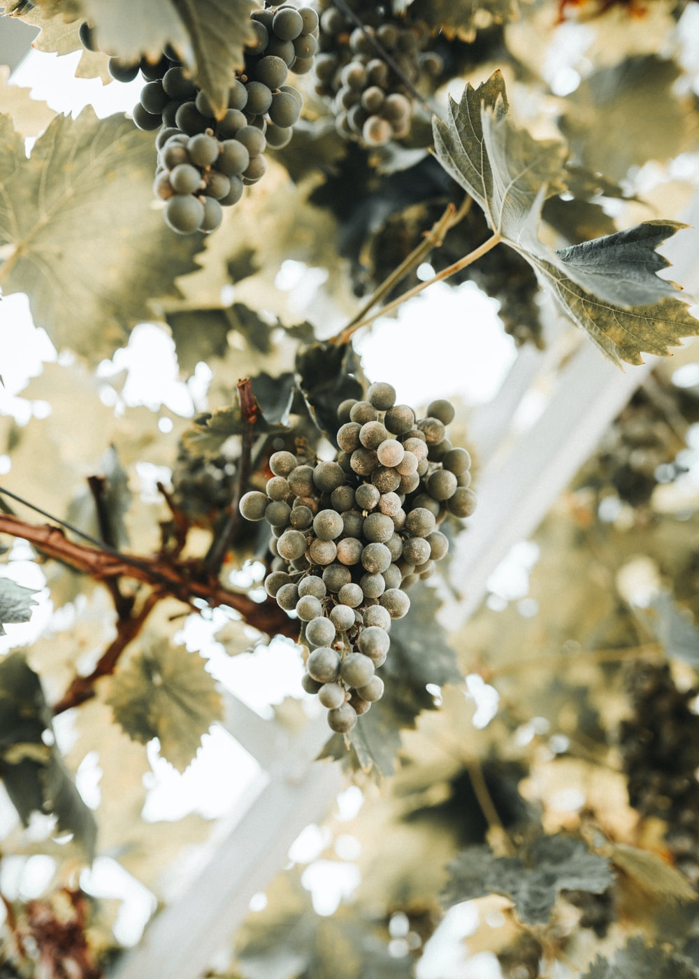 gray grapes fruit