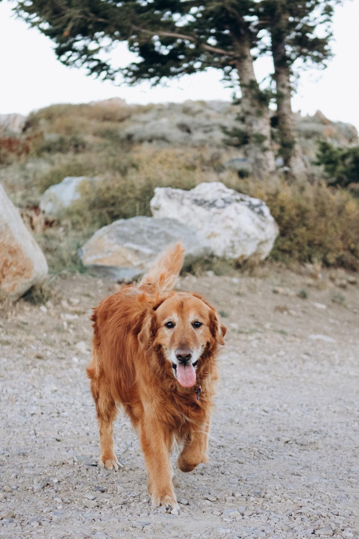 brown long coat large dog