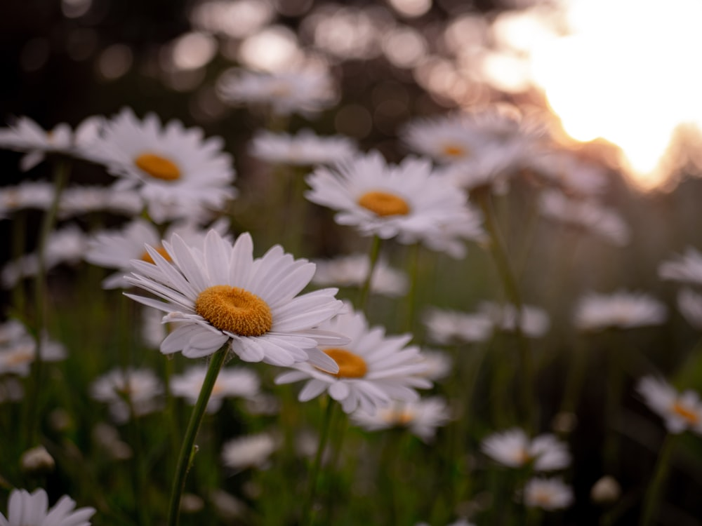 selective focus photography of white daisy flowers