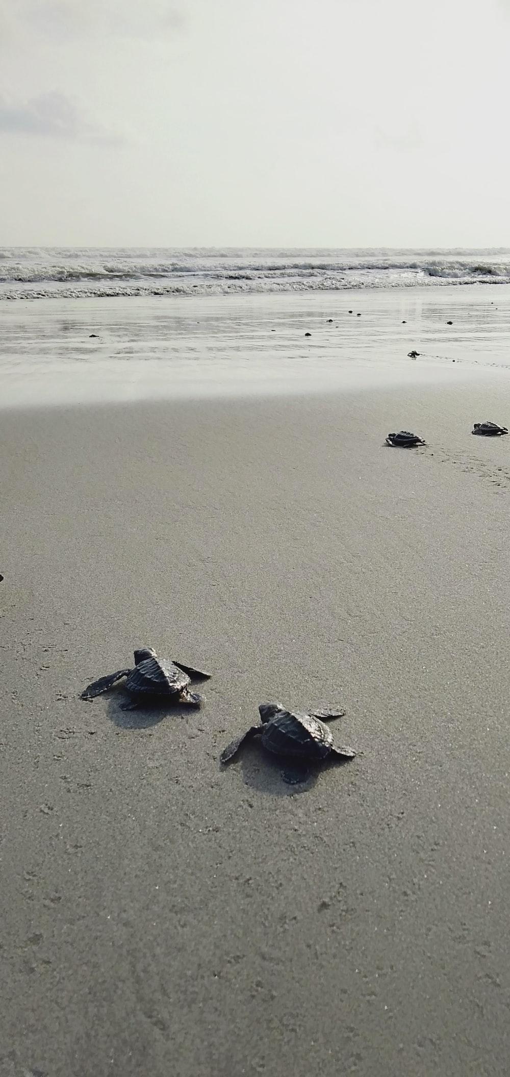 gray turtles near seashore
