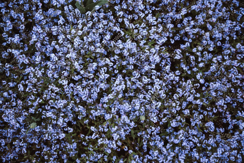 bed of blue flowers