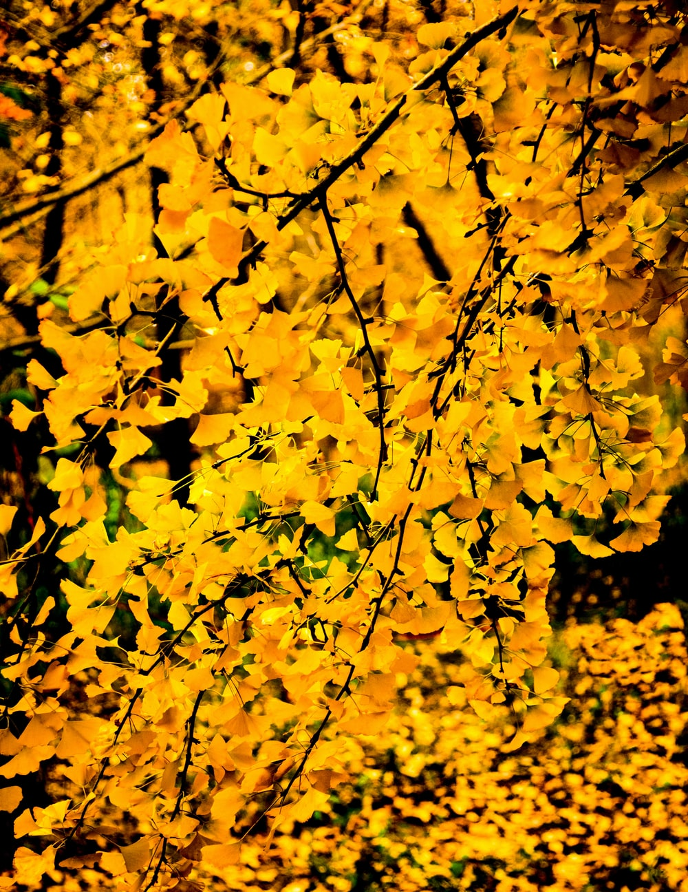yellow leaf trees