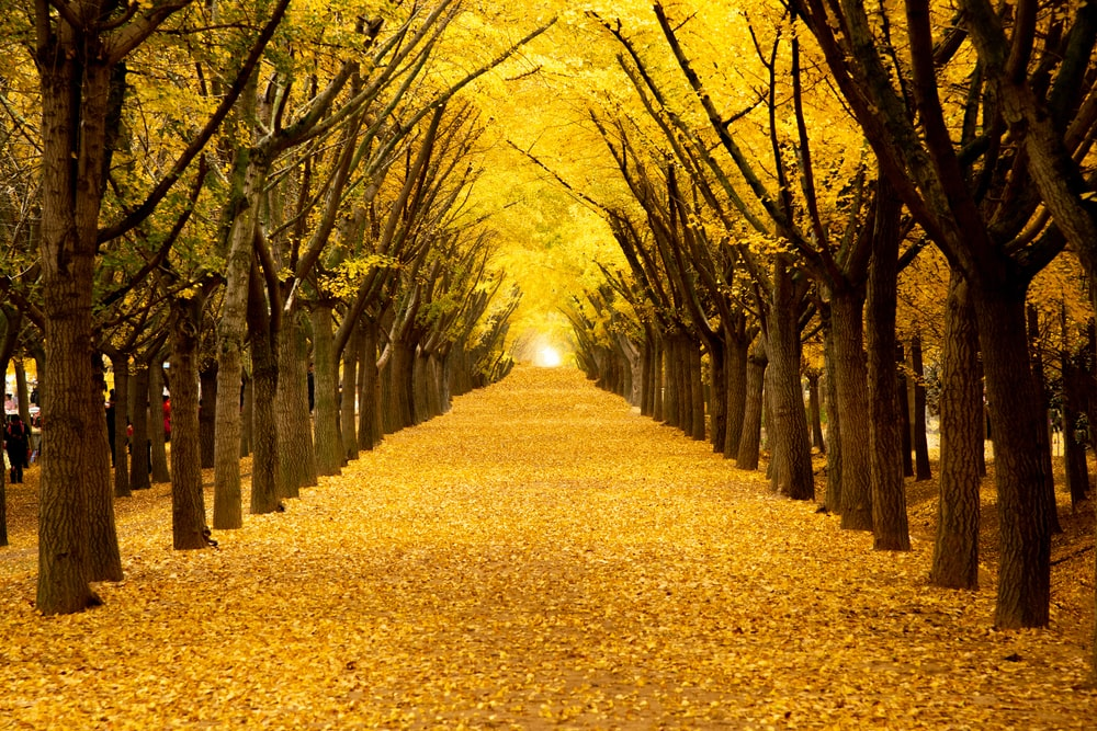 yellow leaves falling on ground