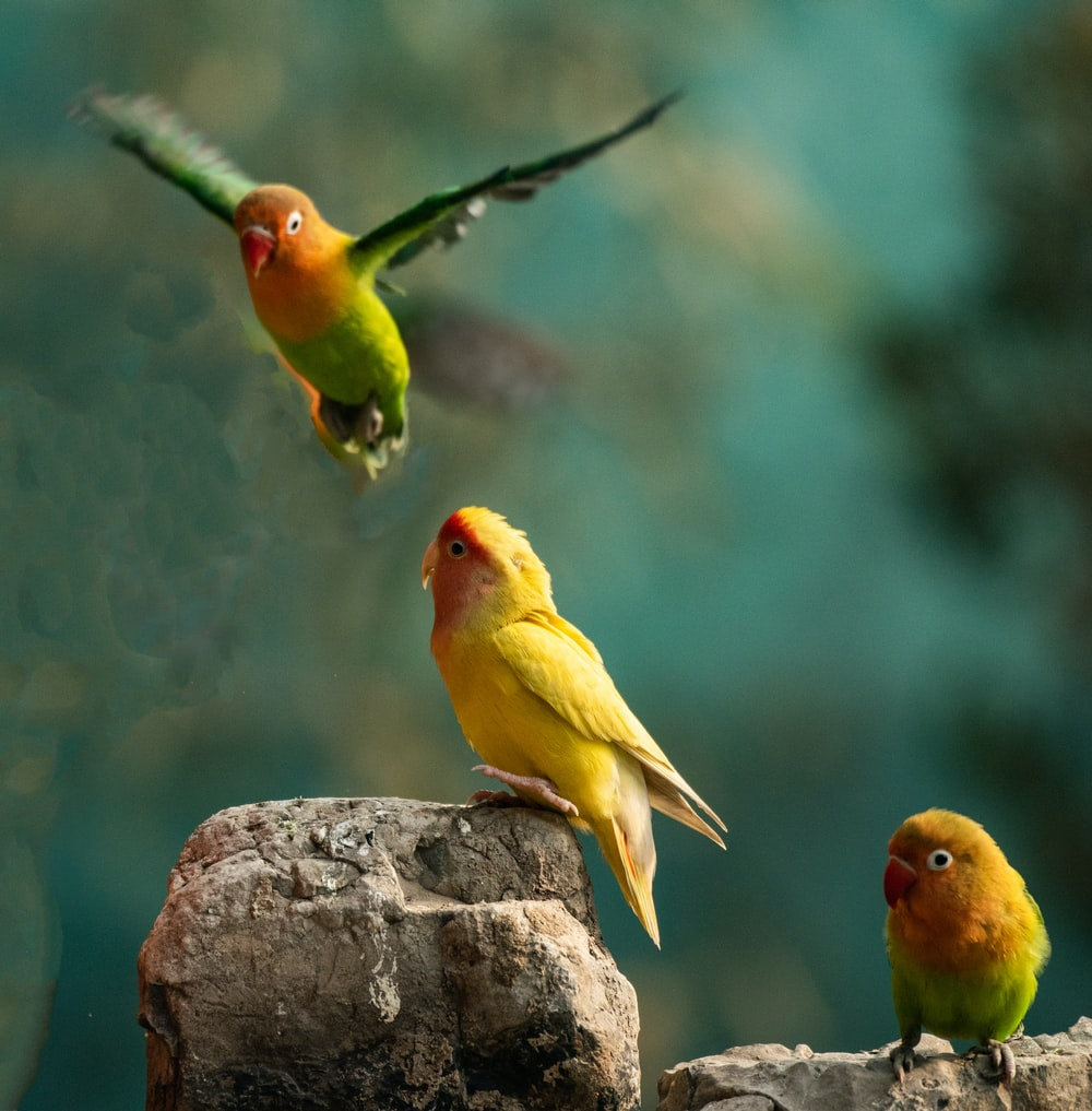 three yellow-and-green birds