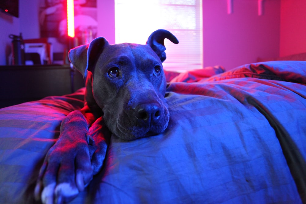 adult gray American pit bull terrier prone lying on bed