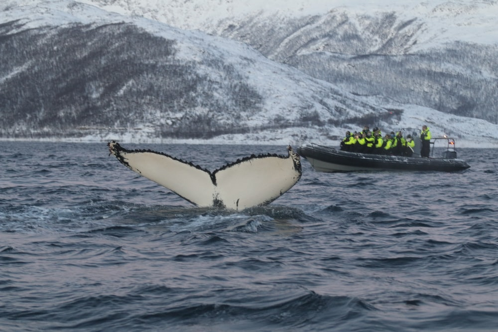 whale tail near boat