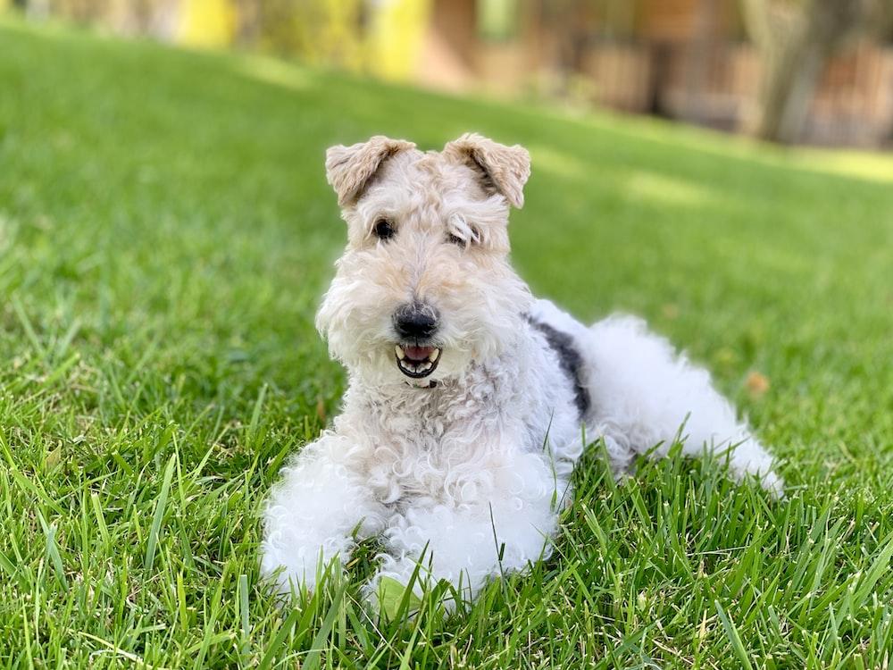 short-coated white dog