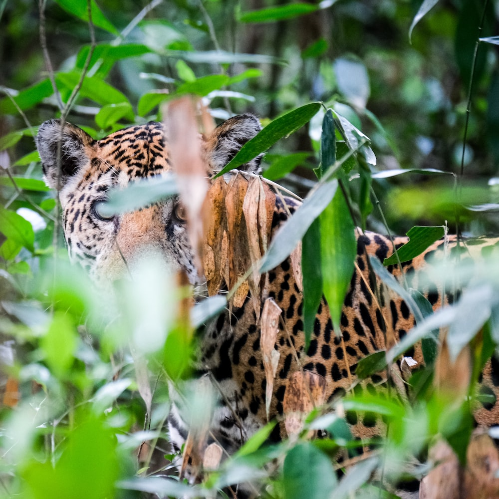 brown and black leopard animal in grasses