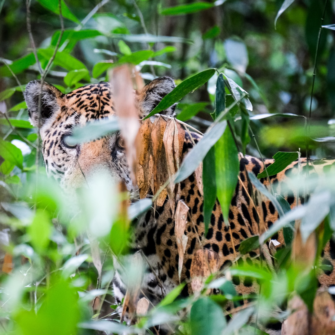 Wild Jaguar in the jungle, Reserva de la Biosfera Maya, Guatemala