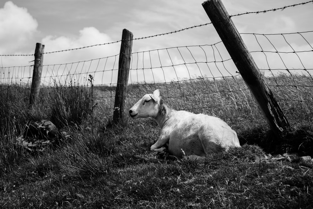 grayscale photo of goat beside fence