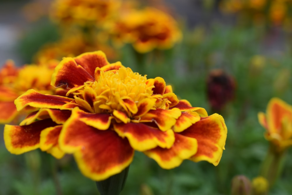 photo of yellow and red flowers