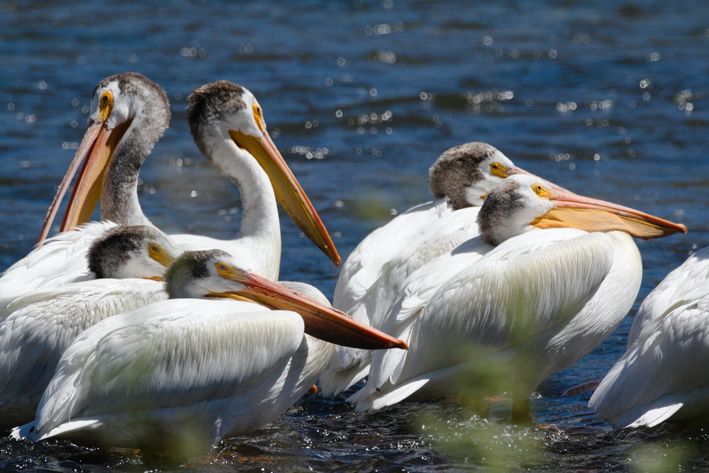 several white pelican birds in the water