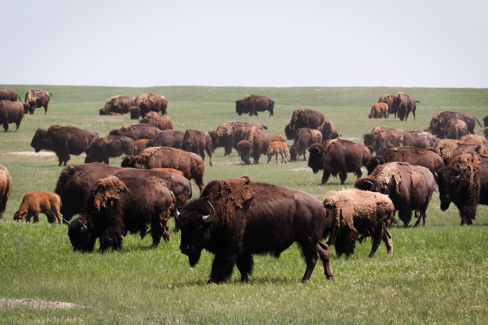 Bison Create Their Own Green Up