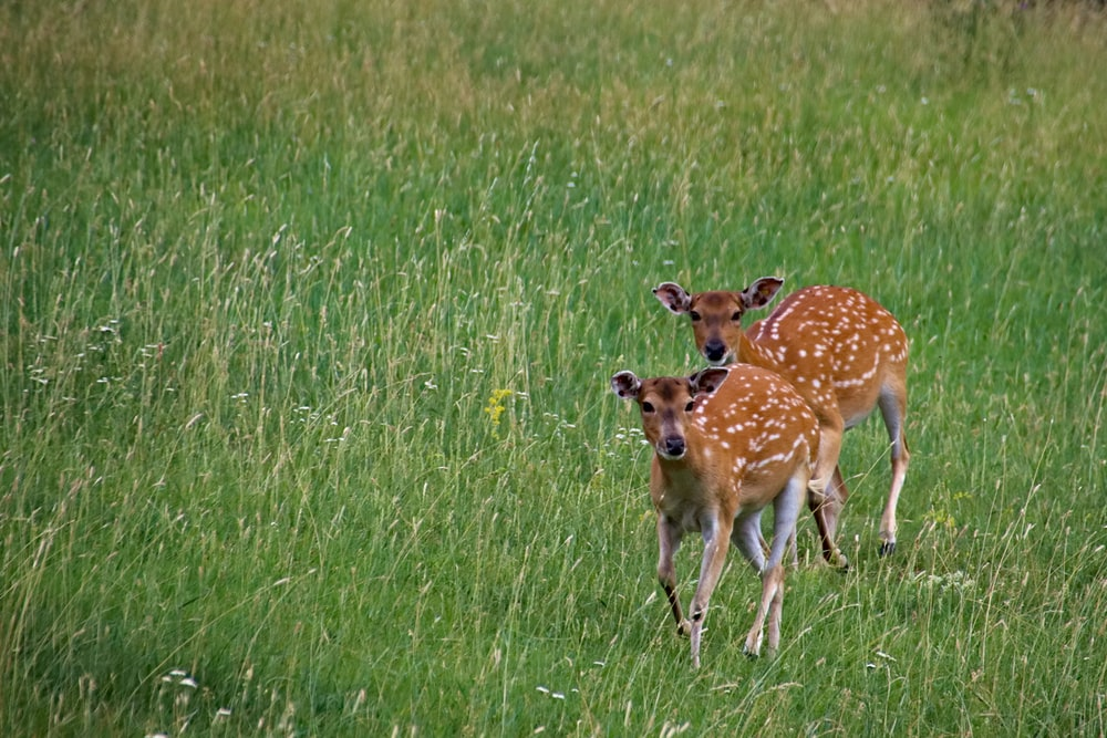 two brown deer on grass field during daytime
