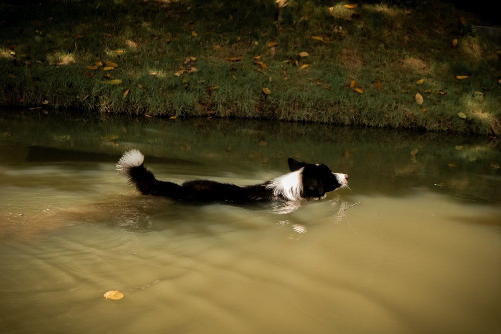 black and white dog swimming on river