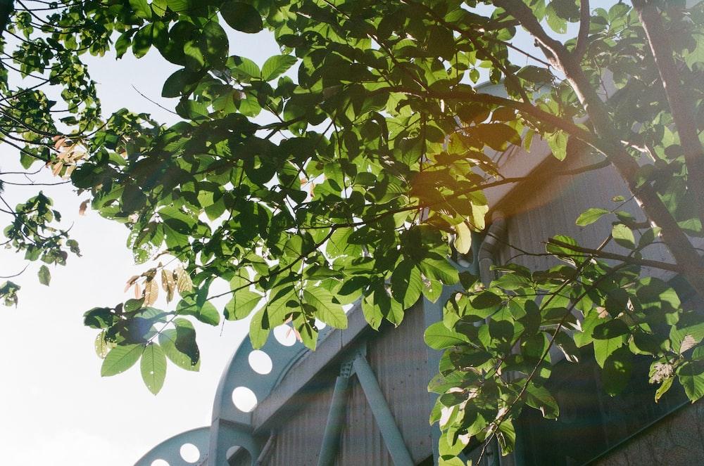 green tree avocado tree