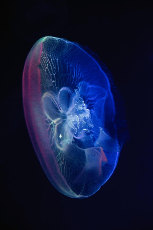 blue jelly fish