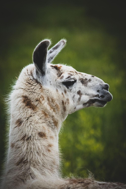 brown llama at open field