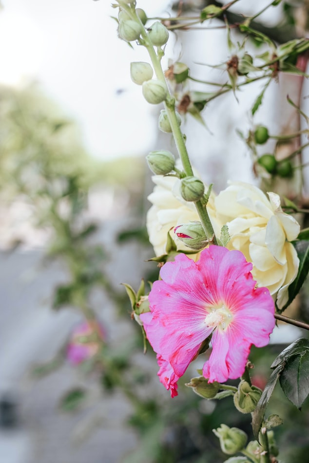 Hollyhock Flower Jelly   32 Edible Flowers - The Complete List Of Flowers You Can Eat & Flower Recipe Ideas