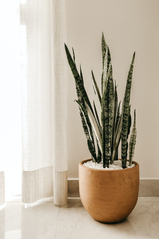 silver snake plant on pot