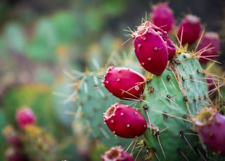 red and green cactus
