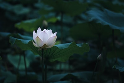 selective-focus photograph white lotus flower