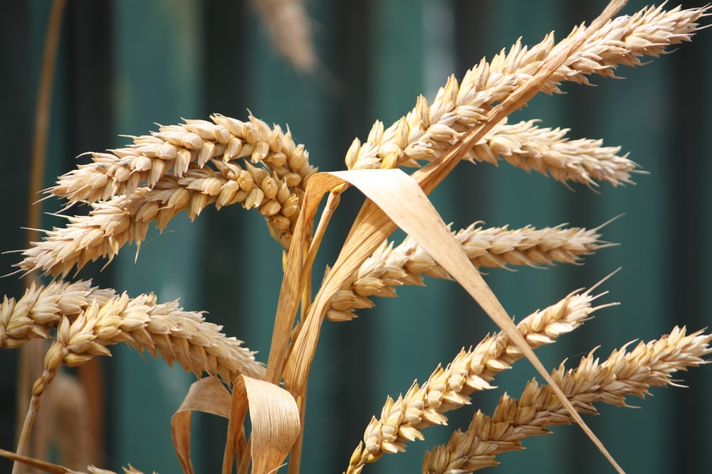 shallow focus photography of wheat plant