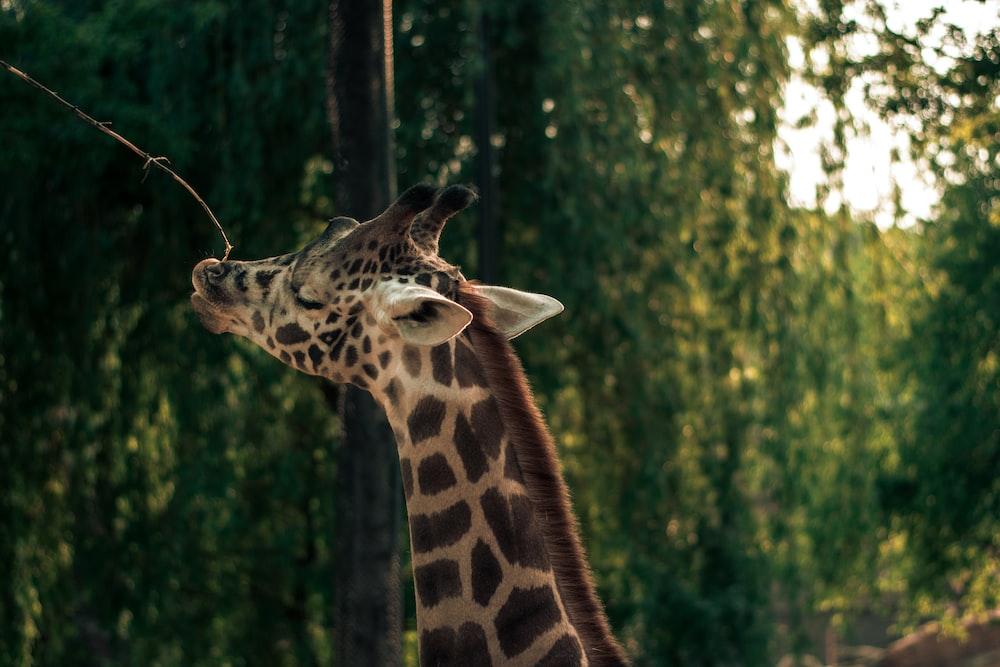 shallow focus photo of brown giraffe