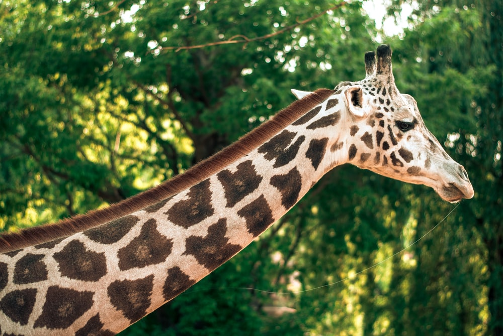 brown white giraffe close-up photography