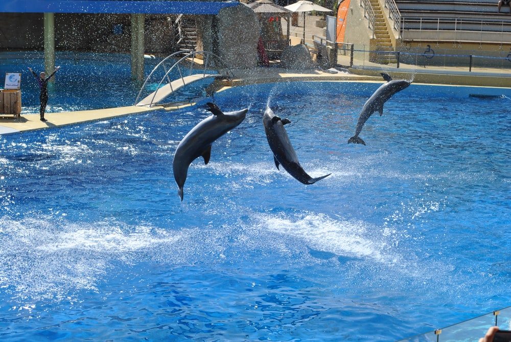 dolphins jumping out of the water of a swimming pool