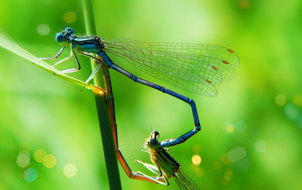 two blue and green damsel flies perched on green plant