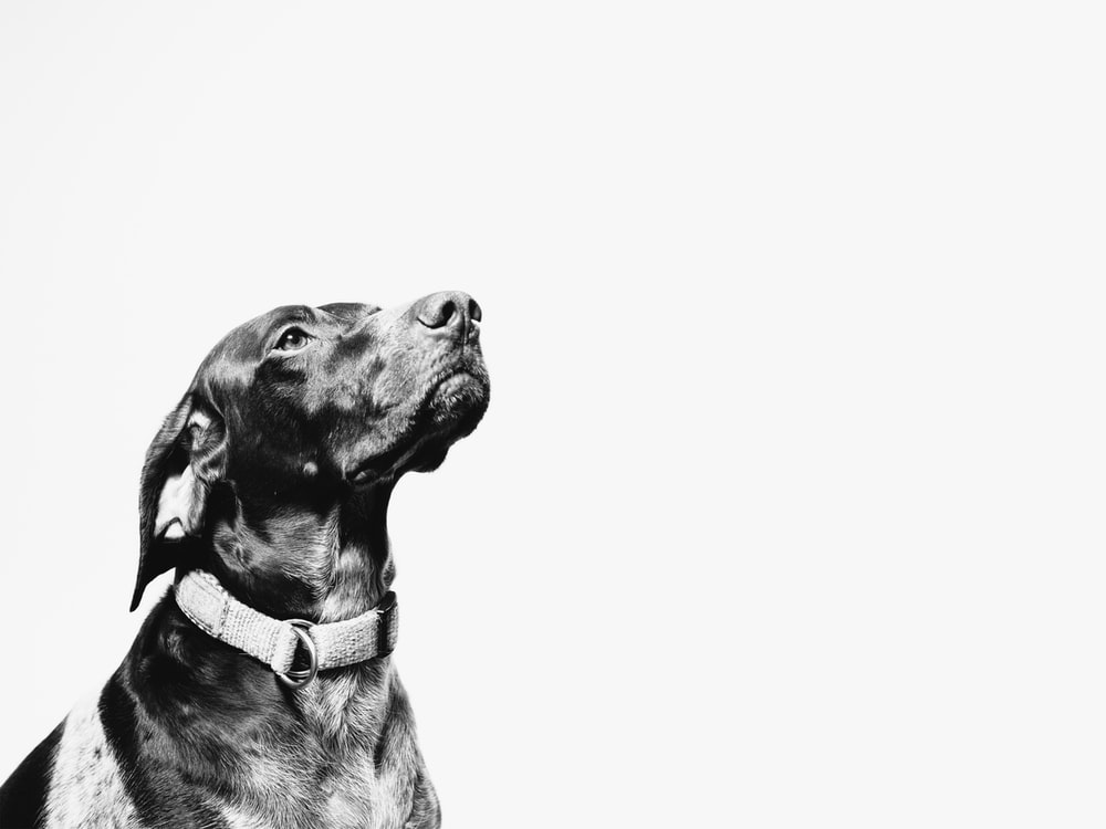 dog looks up on white background