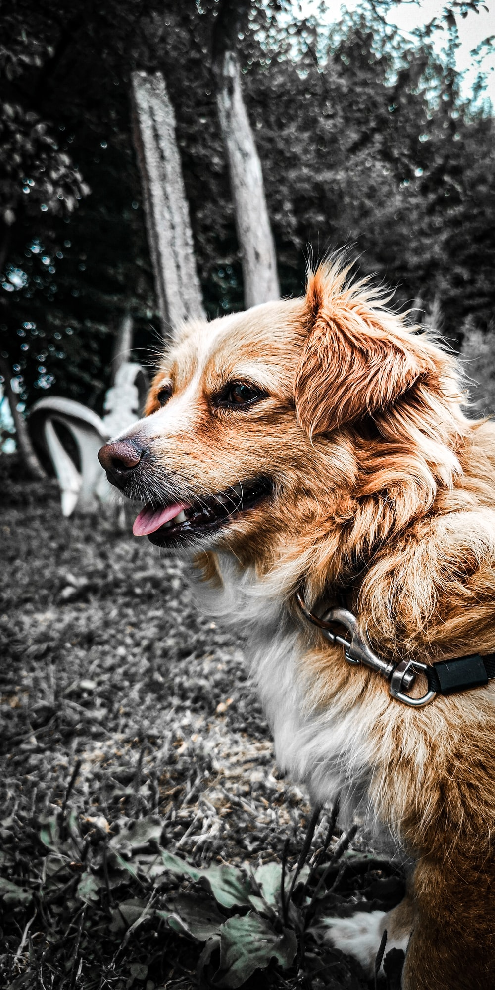 selective color photography of brown dog