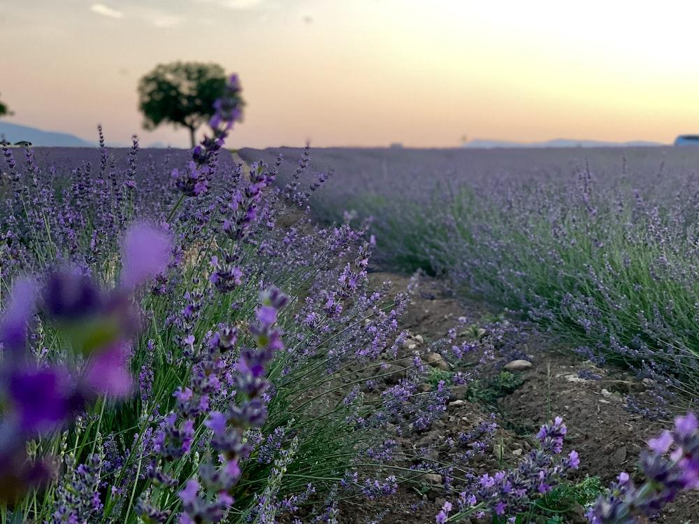 lavender flower fields during daytime