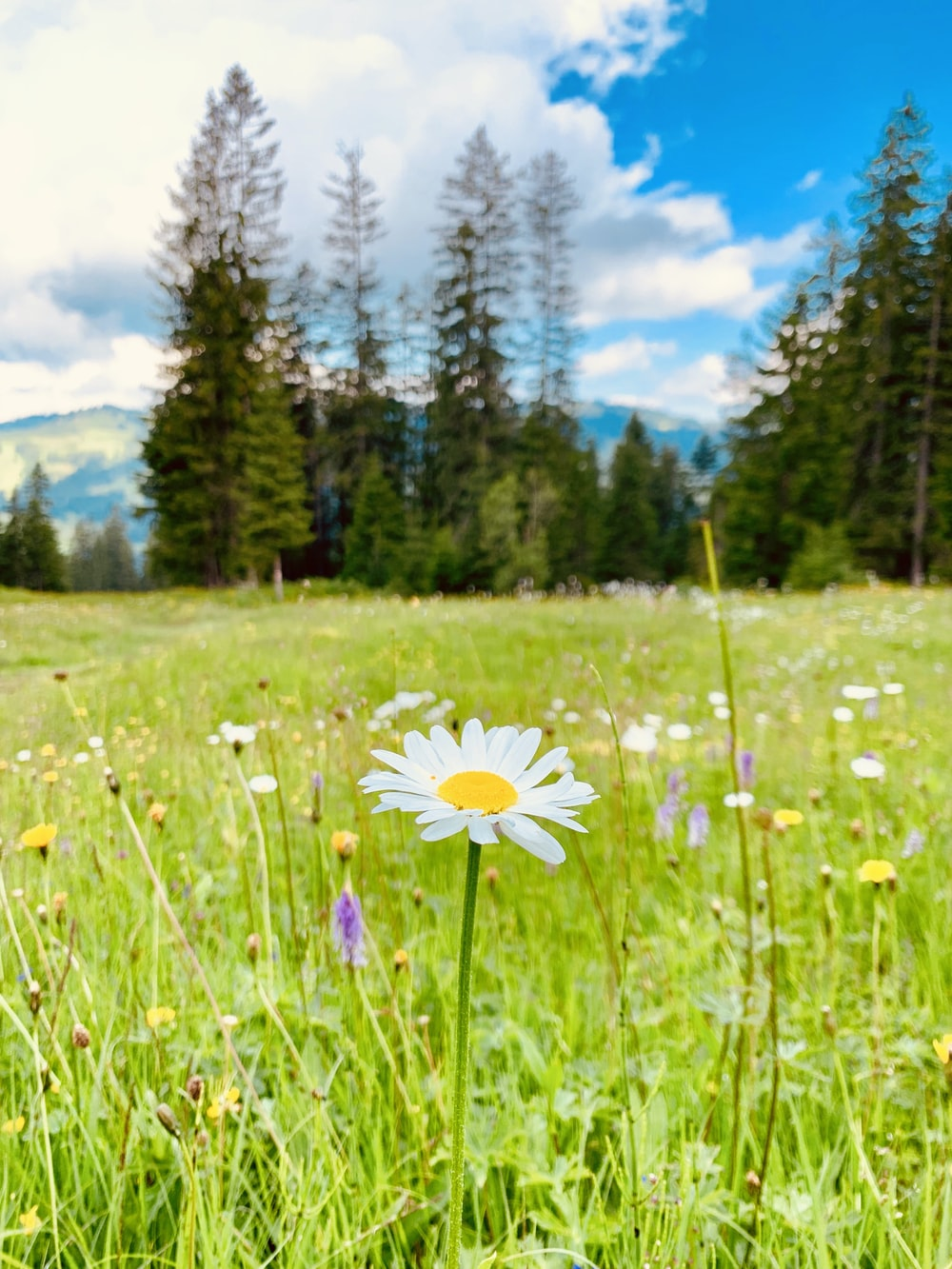 blooming white and yellow daisy flower field