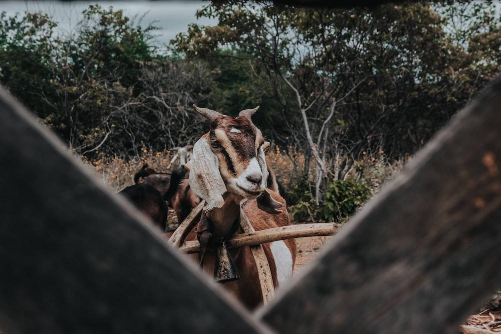 closeup photo of brown goat near trees