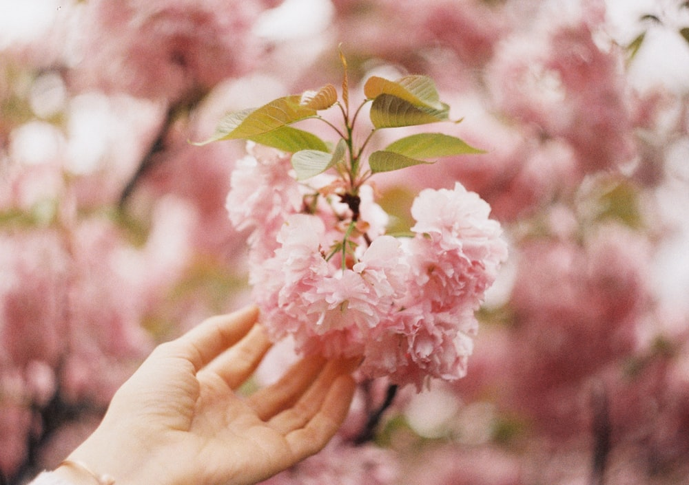 person holding pink petaled flower close-up photography