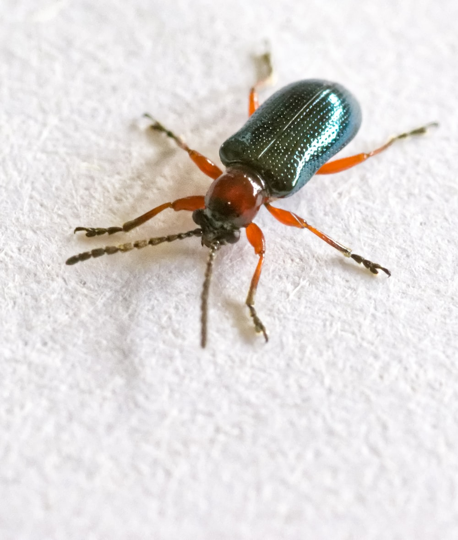 black and brown beetle