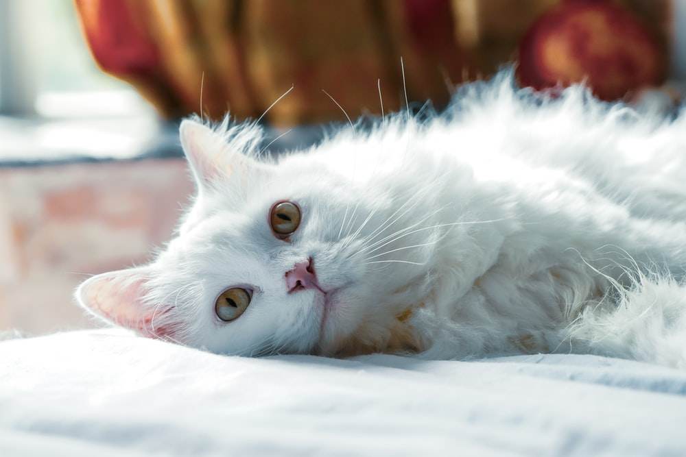 long-fur white cat lying on white textile close-up photography