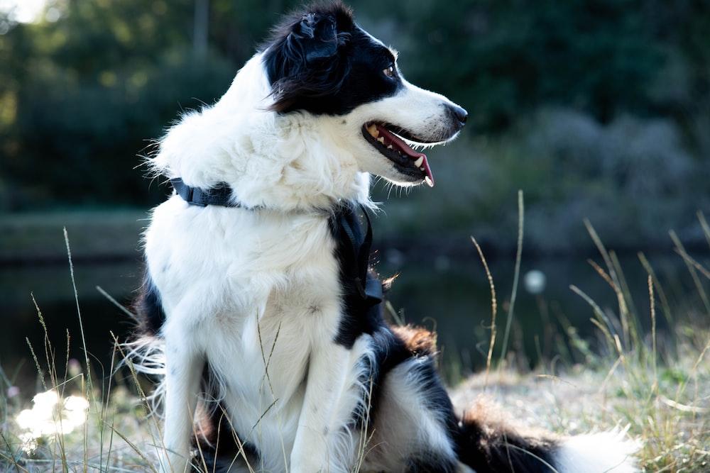 long-coated white and black dog