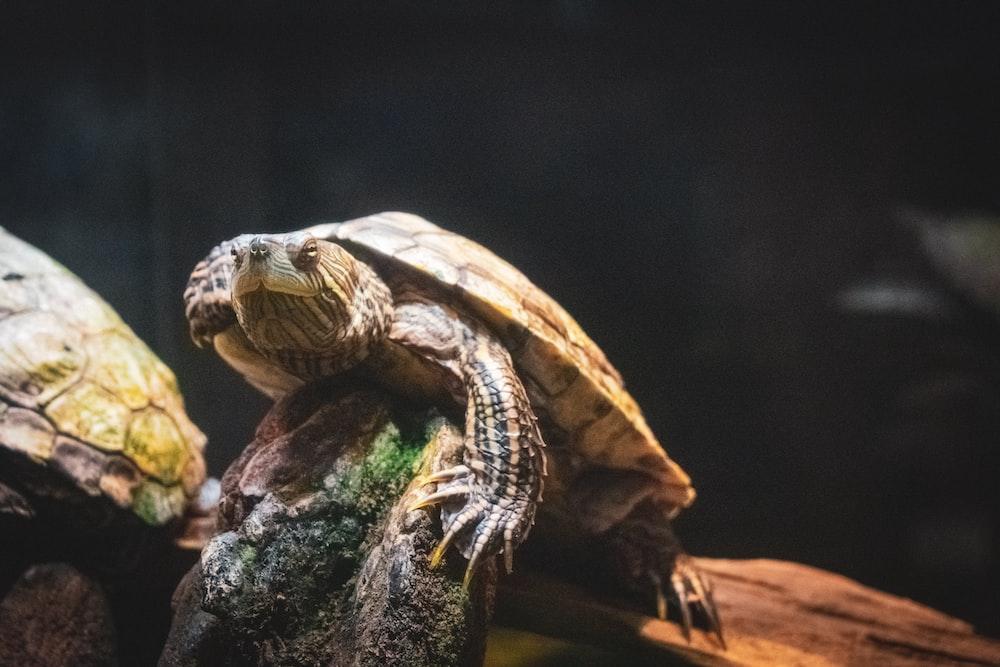 closeup photo of brown turtle