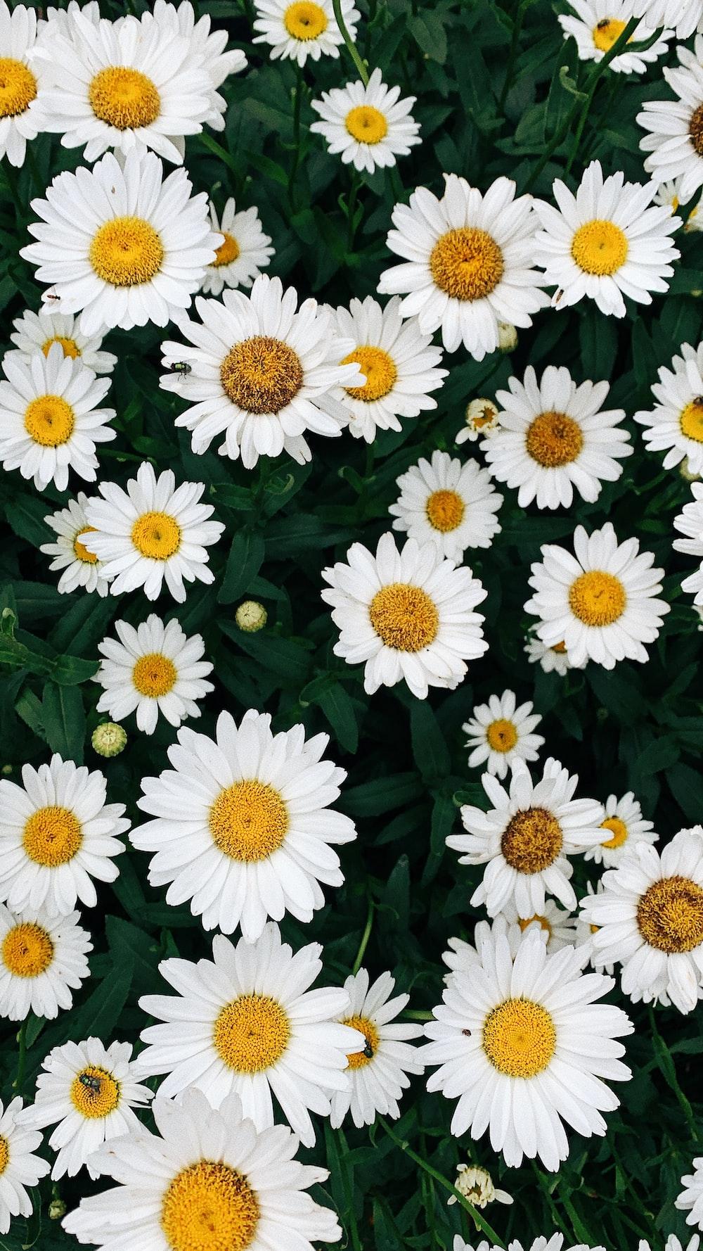 white daisy flowers